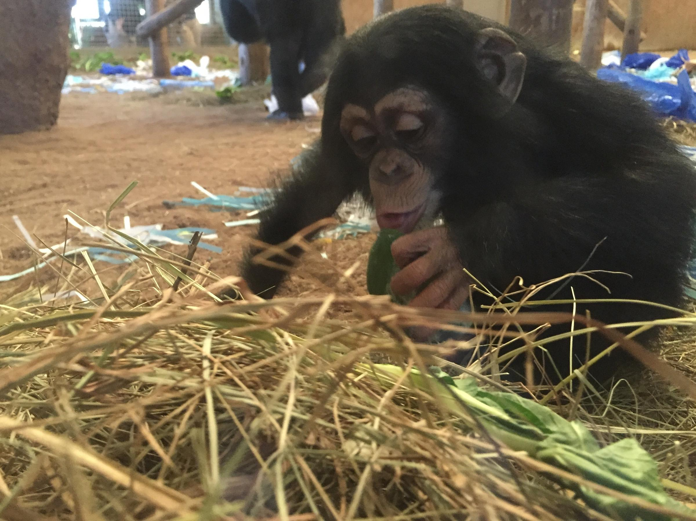 Tulsa Zoos Youngest Chimp Turns 1 Year Old Public Radio Tulsa