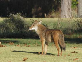 Coyotes are regular visitors to Forest Park. This one was photographed on the Highlands golf course.