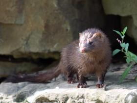 Mink are relatively new to the park and its waterways. They are carnivorous mammals related to otters and ferrets.
