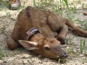 A number of calves have been born at Peck Ranch, including this 2011 newborn.