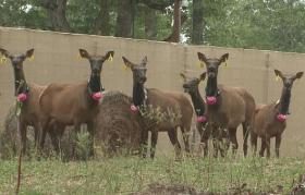 A group of female elk with GPS collars await release in a holding pen at Peck Ranch.