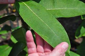 Along with harming human health, ground-level ozone can also cause damage to plants, like the black spots on this leaf at an ozone demonstration garden near the Saint Louis Science Center planetarium.