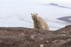 An emaciated polar bear crests a ridge desperately looking for bird nests and eggs on a small isle along the coast of Spitsbergen Island in the Svalbard archipelago.
