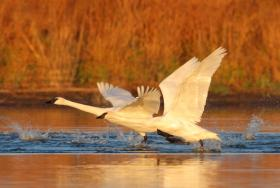 Adult trumpeter swans weigh about 25 pounds and have a wingspan of more than seven feet.