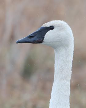 Trumpeter swans are all white, with black beaks, legs, and feet.