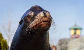 Bennie was one of the zoo's most popular sea lions.