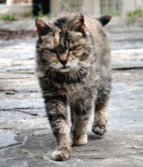 This cat has nothing to do with the Australian prime minister or the prank on him. It's just a feral cat from Virginia.