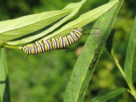 Monarch caterpillars rely exclusively on milkweeds for food.