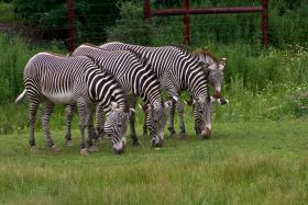 Stripes are always in fashion for zebras