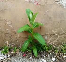 A milkweed plant grows in an alley.
