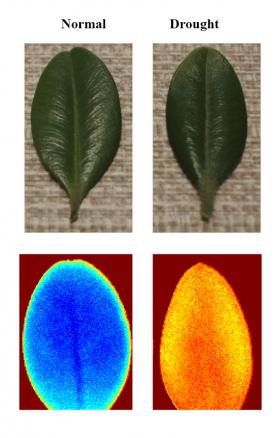 Part of the NSF grant will be used to study the effects of drought on plants, in particular corn. This image shows leaves of a single species of plant (not corn), grown under normal and drought conditions. An infrared scan can detect chemical changes in the drought-stressed leaf that are invisible to the human eye.