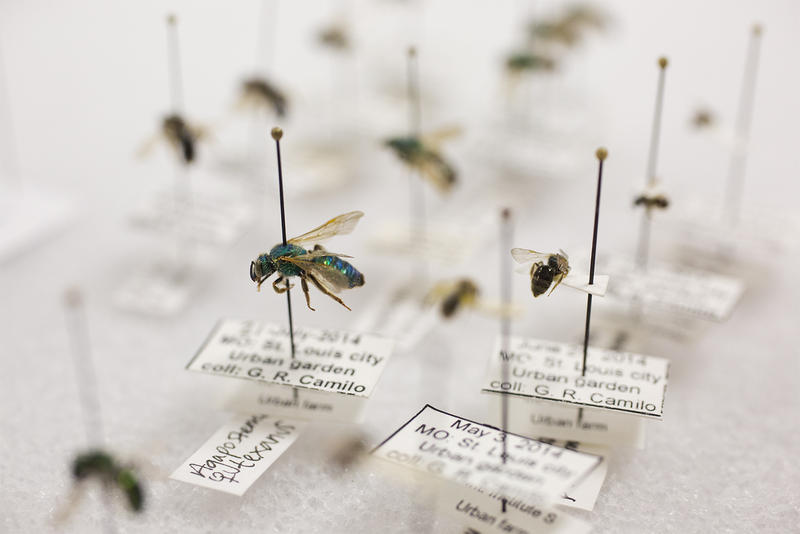A metallic green sweat bee sits in a case among other species at Associate Professor Gerardo Camilo's Saint Louis University lab.