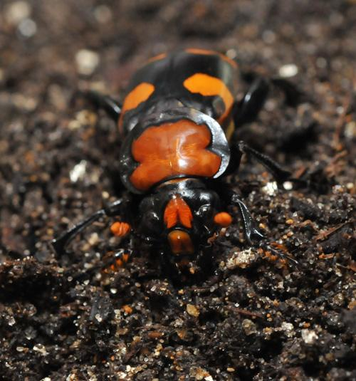 The American burying beetle.