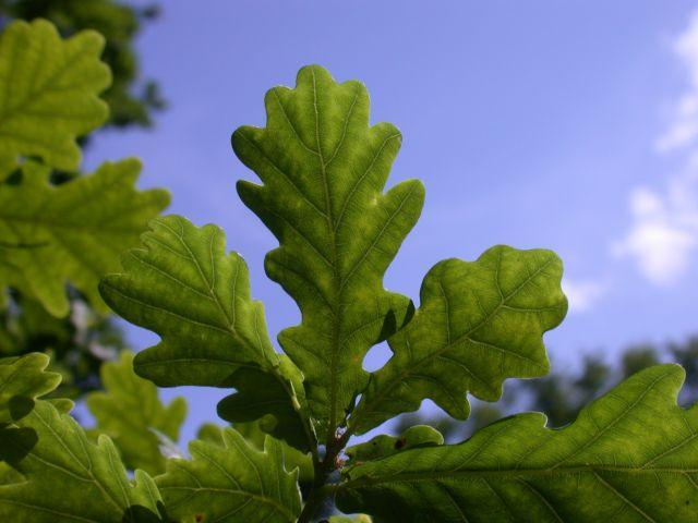 The English Oak, Quercus robur. (RBG Kew)