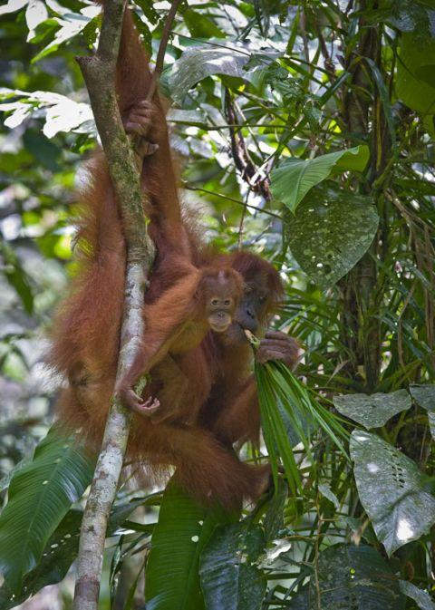 "In the Malay language, oran-utan means ""man of the forest."" (Perry van Duijnhoven/Carel van Schaik)"