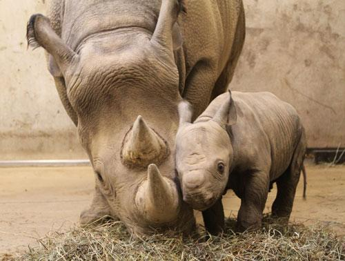 The new baby black rhino calf at the St. Louis Zoo with its mother (St. Louis Zoo)
