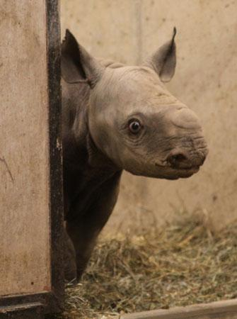 The new black rhino calf at the St. Louis Zoo peeks out from behind a wall. (St. Louis Zoo)