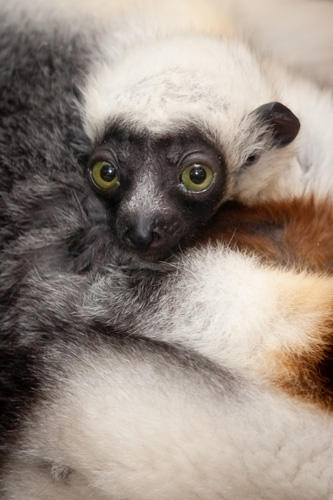The baby Coquerel's sifaka, an endangered lemur species from Madagascar, born at the Saint Louis Zoo on Jan. 9, 2011. (St. Louis Zoo)