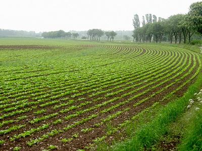 Fields of sugar beets, Monsanto's Roundup Ready brand to be exact, are now eligible to be planted this spring. (via Flickr/Dag Endresen)