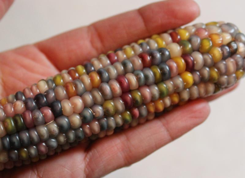 These pearlescent, multi-colored corn kernels were blessed by a Hopi elder and a given to me by a friend. The ability to grow unusual varieties of vegetables is just one of the many benefits of growing your own from seed.