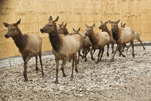 Of the 49 elk captured in Kentucky, one had to be released, and another 14 have died from injuries, pneumonia, or capture-related stress. Thirty-four cows, calves, and yearling bulls remain.