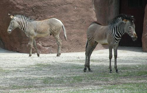 Zebra foals Asante (L) and Zuri (R) explore their new home at the St. Louis Zoo. Both foals were born last winter, and are venturing outside for the first time now that it's warmer.