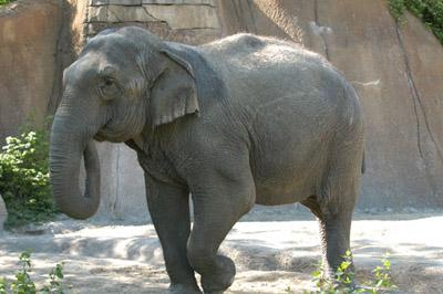 Donna, the 40-year-old Asian elephant at the St. Louis Zoo, has tested positive for tuberculosis.