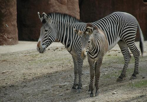 Little Zuri sticks close to her mother as she explores the zebra's outdoor area.
