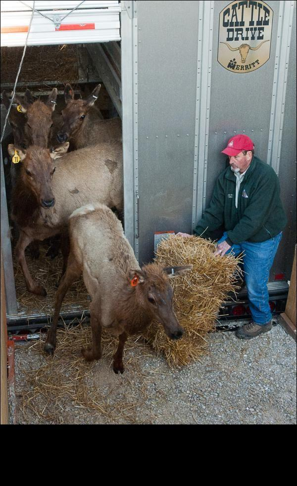 Conservation Commissioner Chip McGeehan helps unload Missouri's first elk from the truck that brought them from Kentucky to their new home at Peck Ranch Conservation Area.