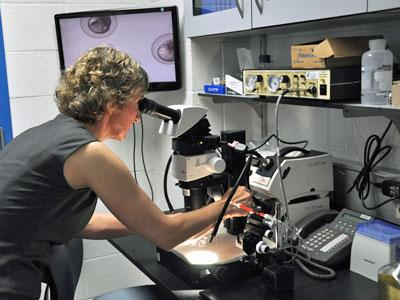 Liliana Solnica-Krezel, who spearheaded the building of the new Washington University facility, looks through a microscope at some two-hour-old zebrafish eggs, whose image is projected on the screen behind her.