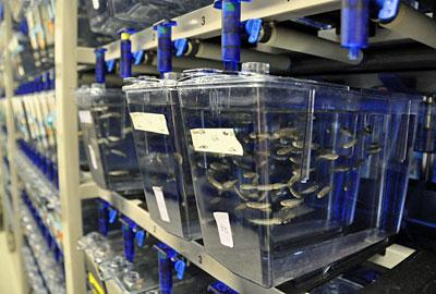The Washington University zebrafish research facility can hold 7,000 tanks of fish, allowing researchers to conduct large, collaborative experiments and complete their research projects more quickly.