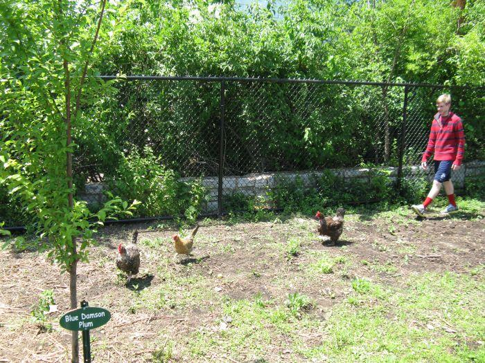 Eighth-grader Noah Snyder rounds up the chickens in the school's orchard. The chickens only get access to the grassy area when it's warm and when there's someone to watch out for predators.