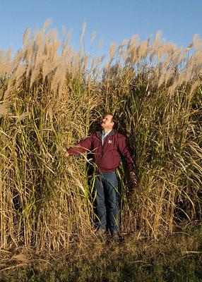 "A two-year-old stand of the Miscanthus giganteus variety ""Freedom."" Dr. Brian Baldwin of Mississippi State University developed this variety (pictured)."