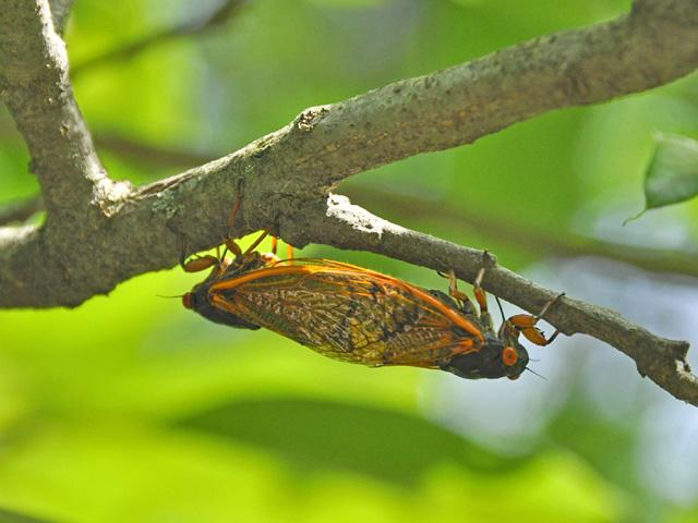 Two cicadas hang upside down on a branch, facing in opposite directions, to mate.
