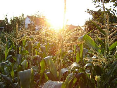 Corn and soybeans are the primary crops in Missouri and Mississippi River bottomland.