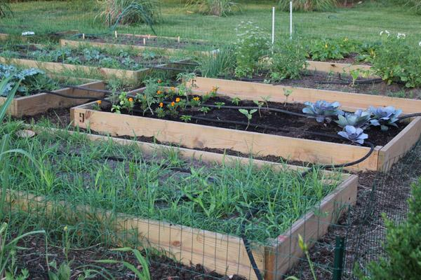 Two beds in a community garden, one newly planted and the other covered in weeds.