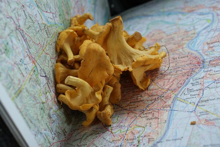 A handful of the season's first chanterelle mushrooms, foraged by Ryan Maher of Missouri Wild Edibles.