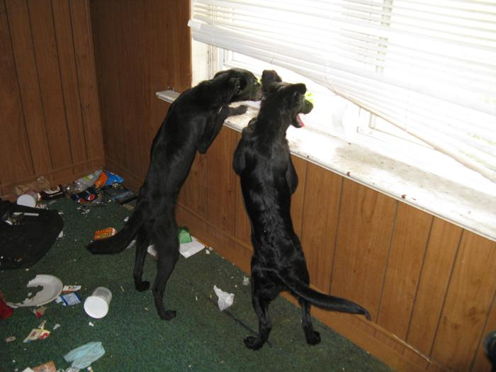 The initial report of nine dogs and 15 cats is also wrong. These skinny little pups are the only living animals found in the house. Randy and Donna will later find the carcass of another pup the survivors fed on.