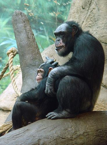 Zookeepers at the St. Louis Zoo on Wednesday announced they had euthanized the chimpanzee Smoke, pictured here with his foster daughter Tammy, on June 22. Smoke was 43.