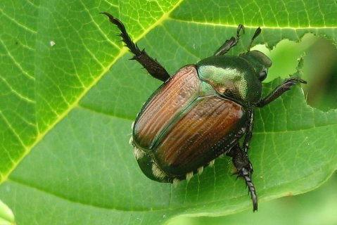 A Japanese beetle.