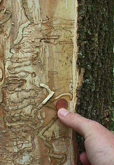 An ash tree showing damage from the larval stage of the emerald ash borer.