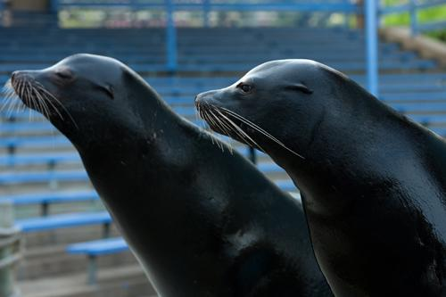 "California sea lion ""R.J."" (right) with ""Roby"" (left)."