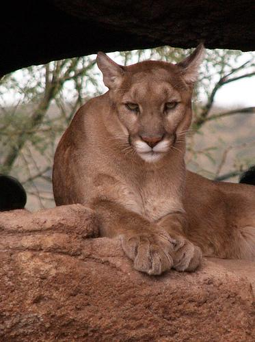 A Texas County man shot and killed a mountain lion on his property in south-central, Mo.