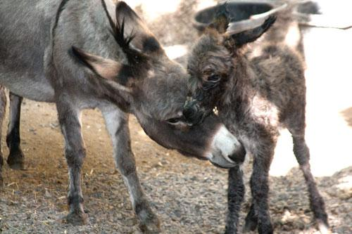 "The St. Louis Zoo's new arrival, ""Nina,"" a miniature burro, with her mother, ""Miss Barney,"" on Oct. 4, the day the foal was born."