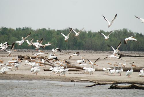 The American white pelican is one of several large birds that use the Mississippi Flyway as a migration route.