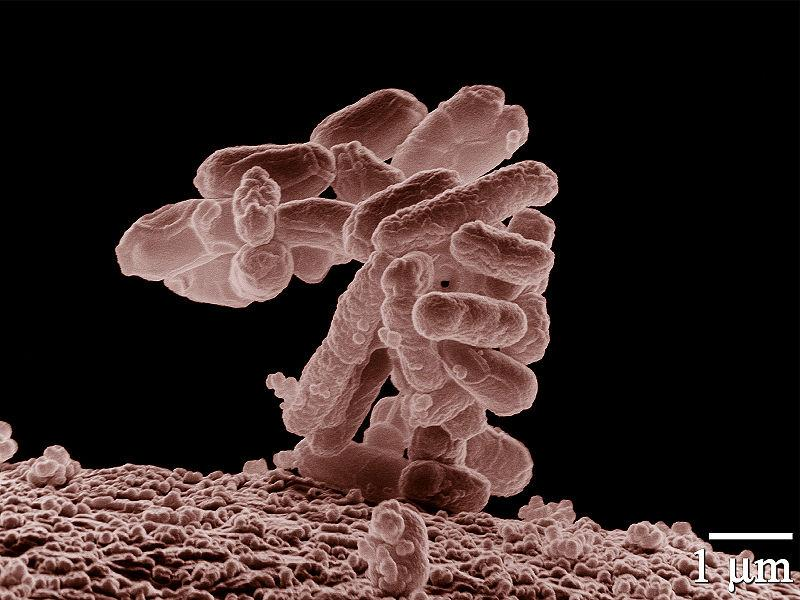 Low-temperature electron micrograph of a cluster of E. coli bacteria, magnified 10,000 times. Each individual bacterium is oblong shaped.