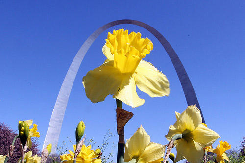Daffodils in full bloom near the Gateway Arch in Luther Ely Smith Park in St. Louis as temperatures neared 70 degrees on a clear spring day in St. Louis on April 12, 2011.