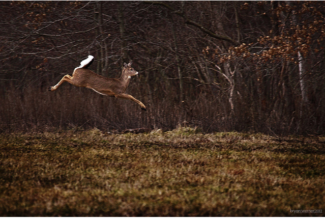 A deer runs for cover with white tail in the air.