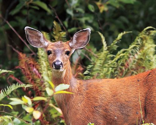 Deer may look cute, but a St. Louis County woman had a painful encounter with one this morning in Ellisville.
