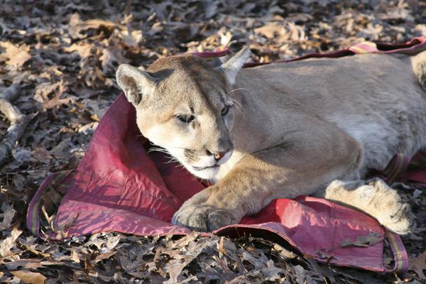 The mountain lion trapped by a private individual in Reynolds County Jan. 4 is seen here recovering from sedatives.